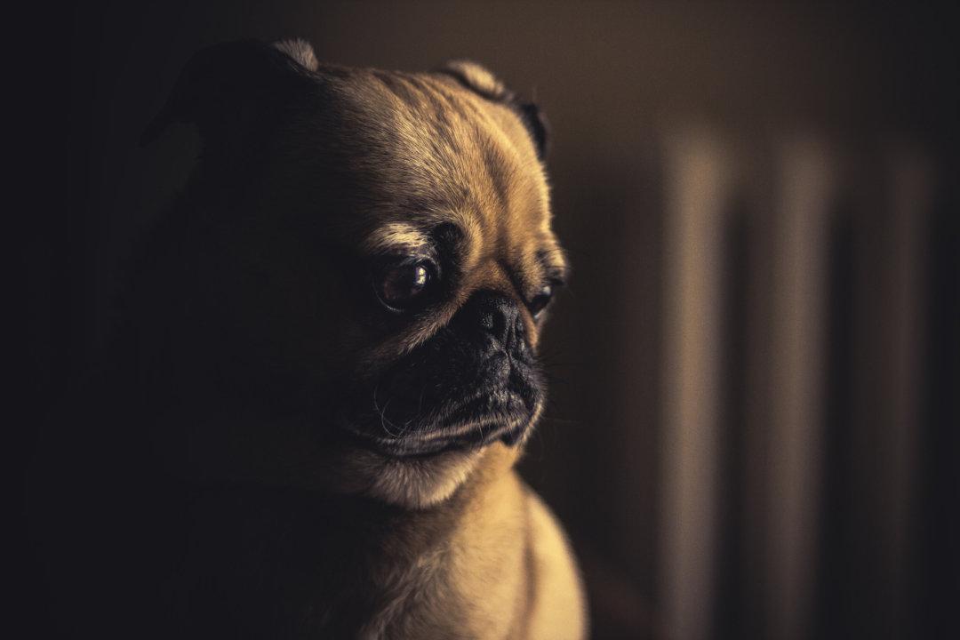 Neid-trauriger-Hund